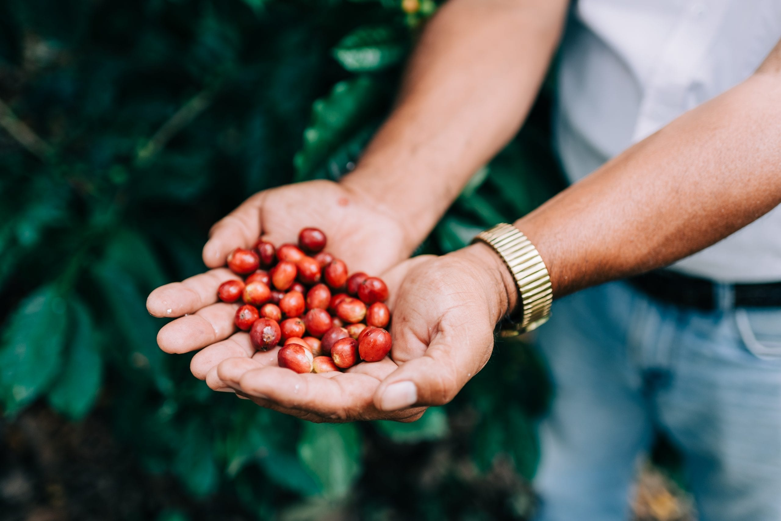 Recently harvested coffee cherries