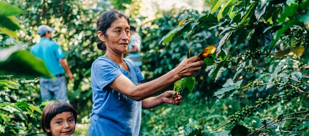 Coffee helps create opportunity for millions of people around the world, like this family picking fruit from vines
