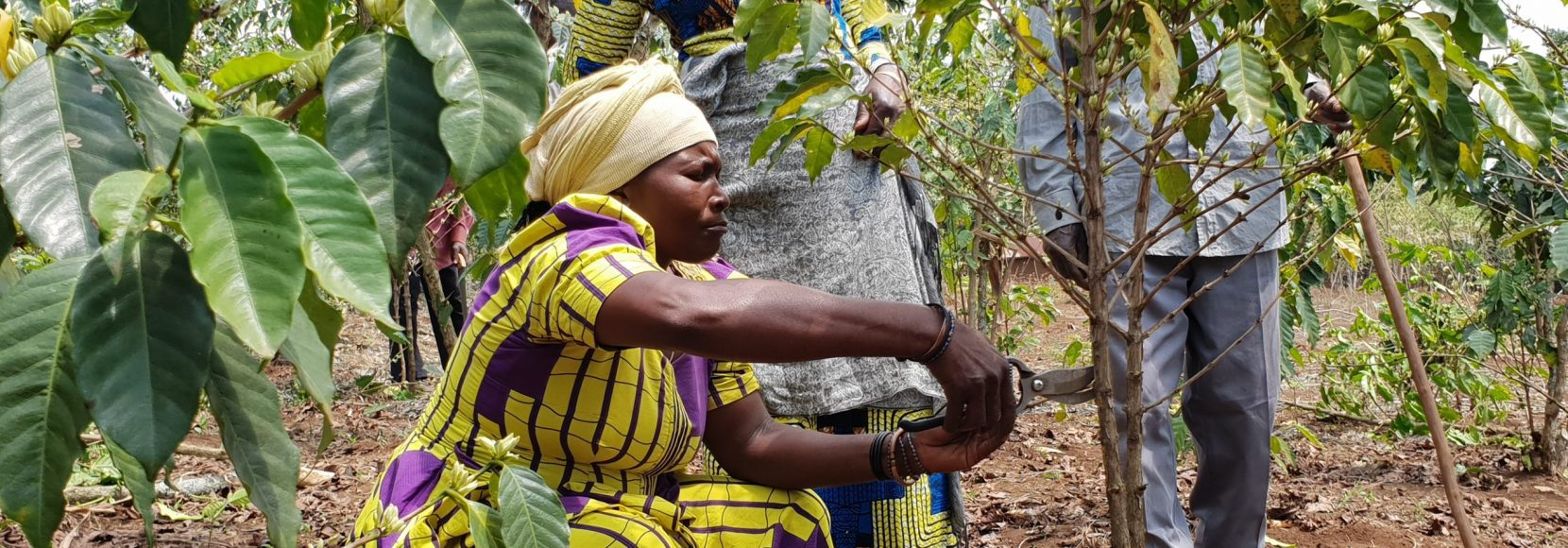 Coffee farmers in the Democratic Republic of Congo tend to their coffee trees