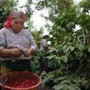 A farmer in Guatemala picks coffee