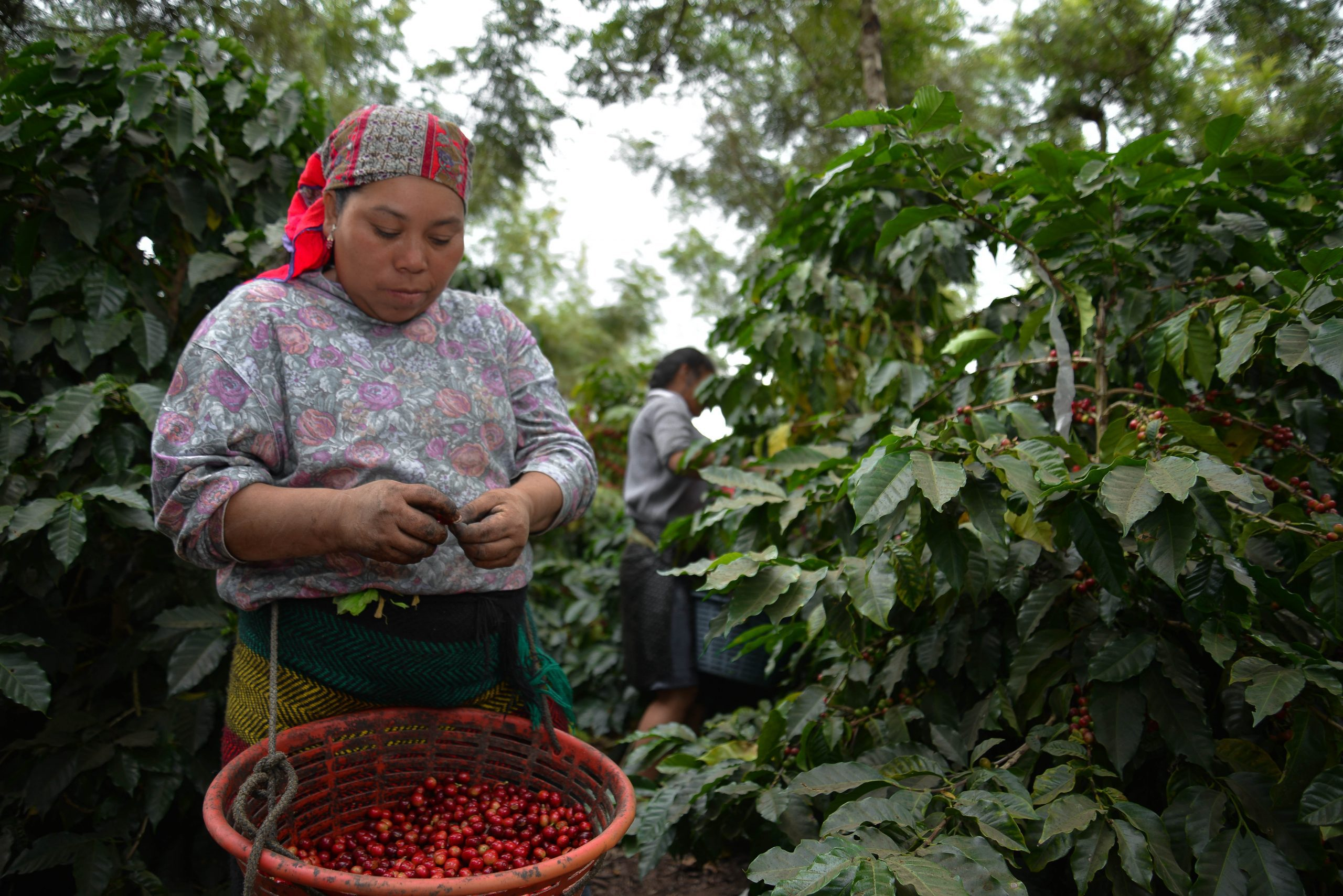 A farmer in Guatemala picks coffee