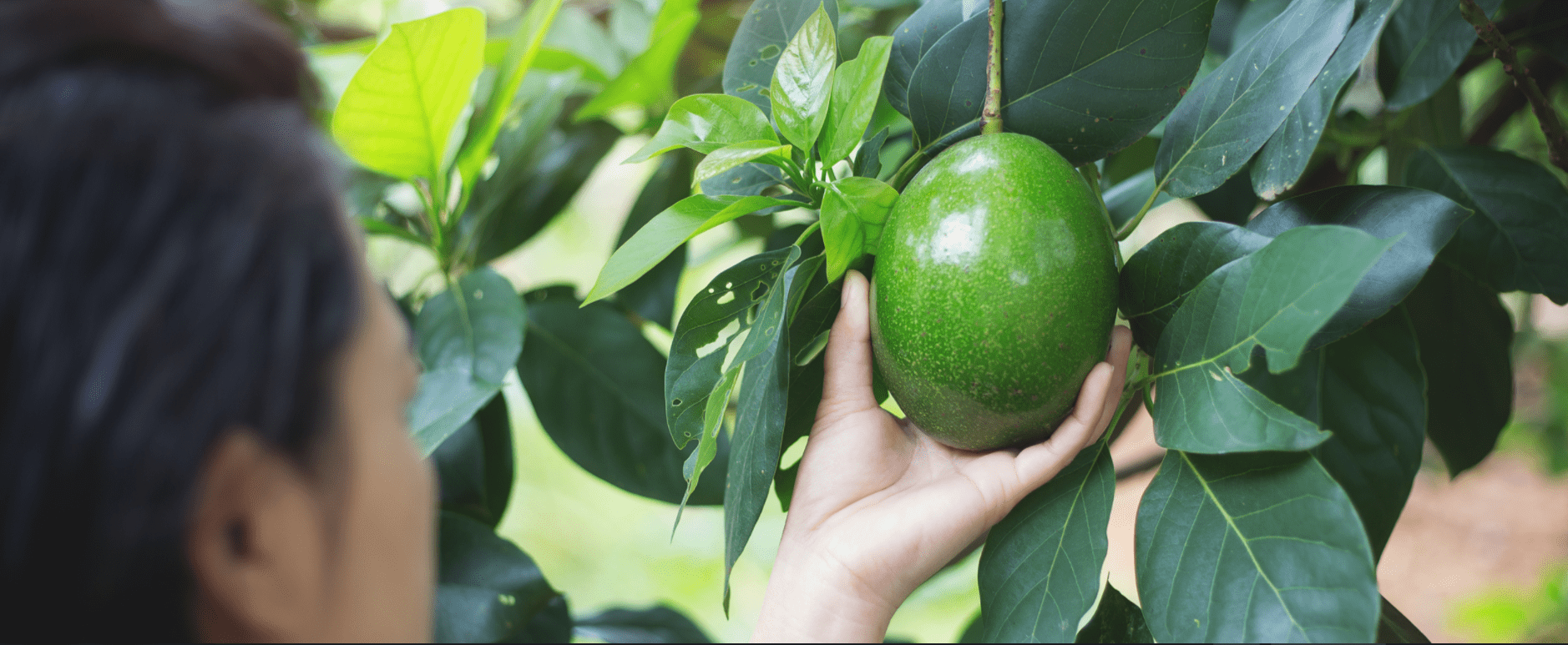 A woman picks an avocado from a tree