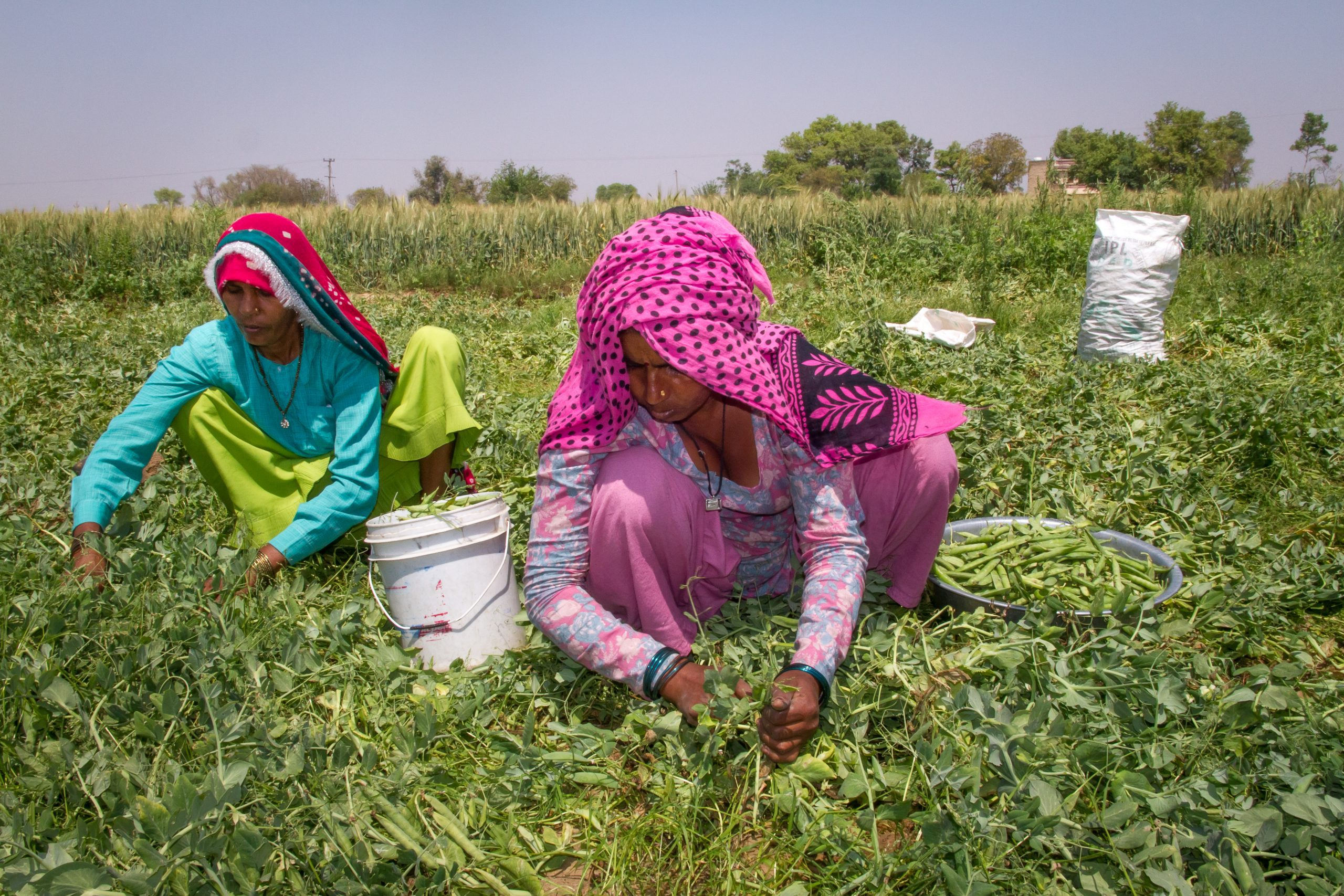 Farmers in India harvest peas
