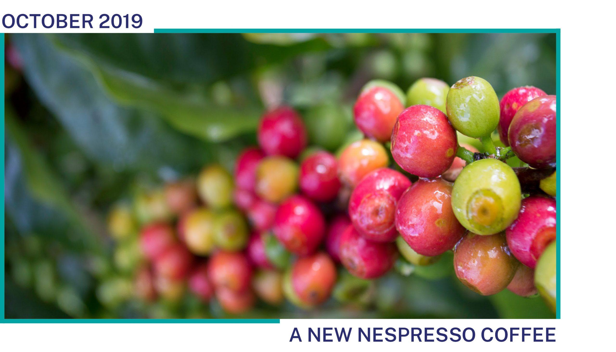 Coffee cherries grow on a coffee plant