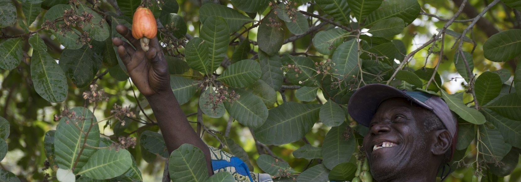A man picks a cashew apple from a tree in Benin