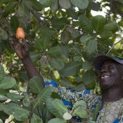 A man picks a cashew apple from a tree in Benin