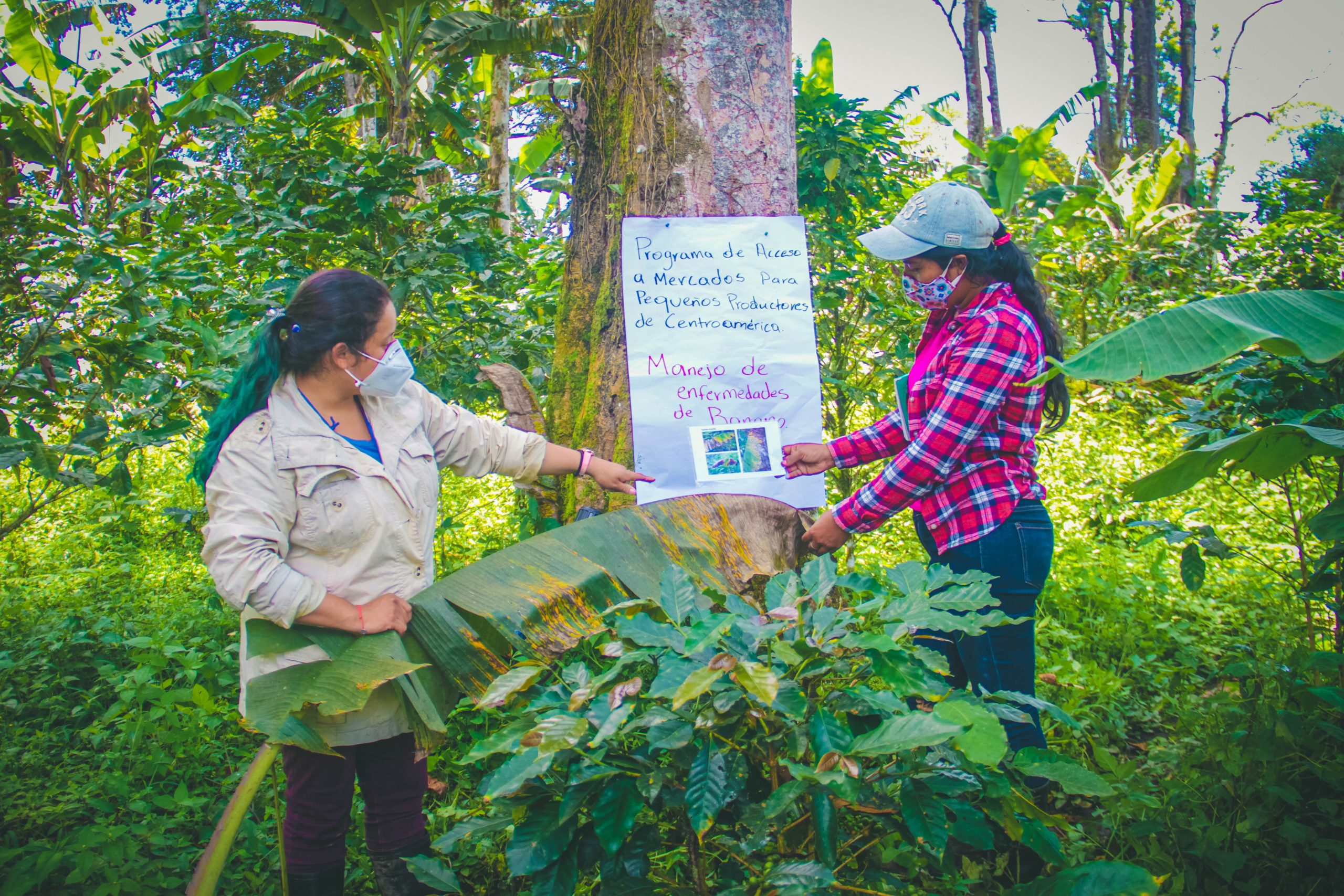 """A photo of Rosa Gonzales with another TNS trainer from from TechnoServe's Smallholder Market Access Program , standing in a densely forested area by coffee and banana trees placing a sign on a tree written in Spanish that says """"Programa de acceso a Mercados para pequeños productores de Centroamérica. English translation: """"Market access program for small producers in Central America.""""The woman on the right is wearing a tan jacket and pants with her hair in a ponytail, while the woman on the right is wearing a red checkered shirt, jeans, and a baseball cap. Both women are wearing masks due to the COVID-19 pandemic and have their hair tied back in a ponytail."""