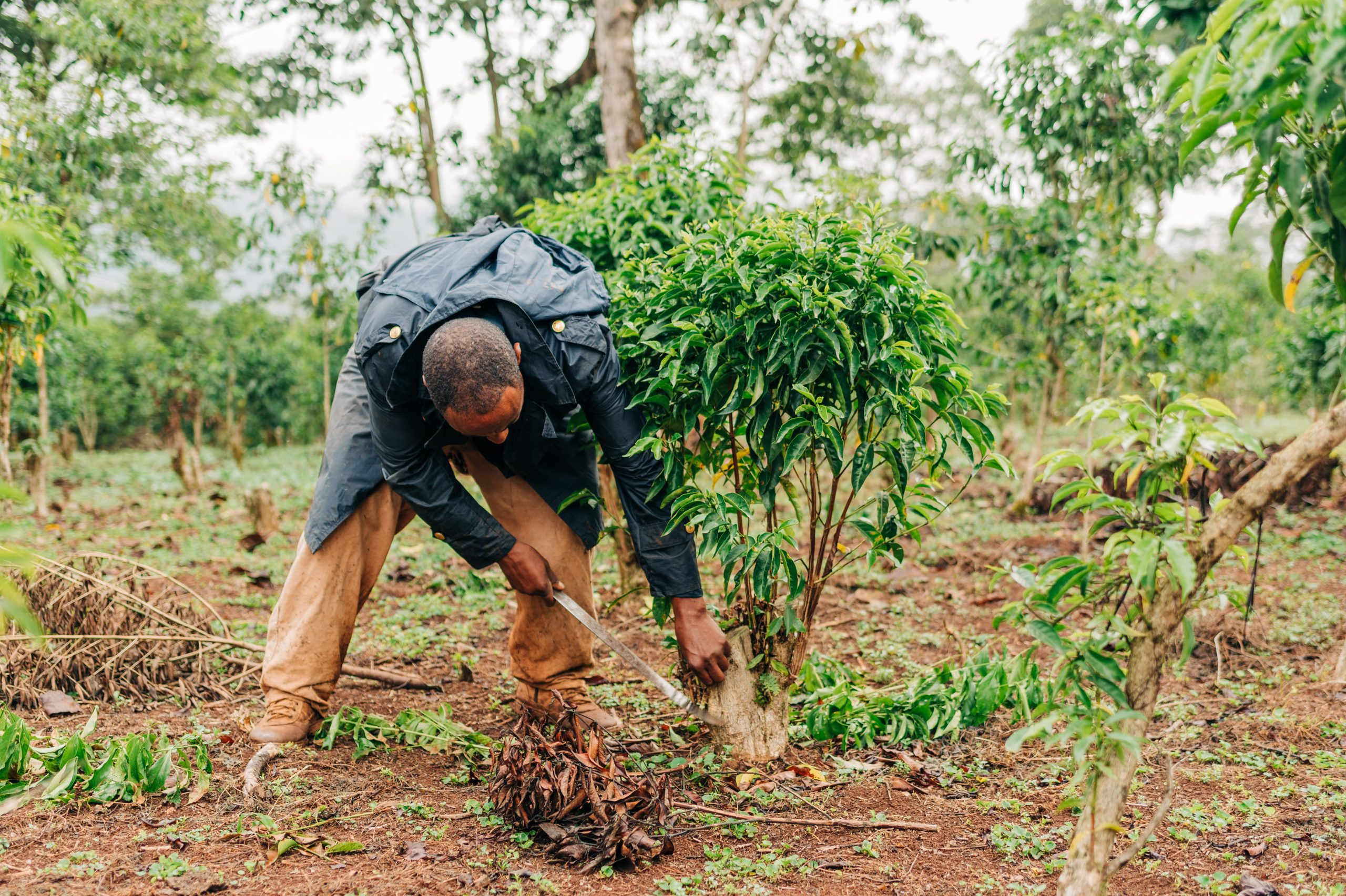Case Study - Human-Centered Design - A coffee farmer in Ethiopia tends to his coffee trees.