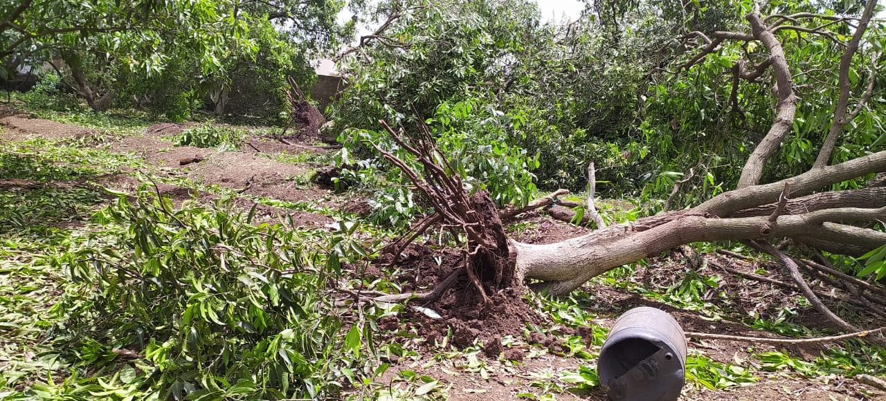 Farmers in India are battling the effects of Cyclone Tauktae. A downed mango tree in the aftermath of the storm.