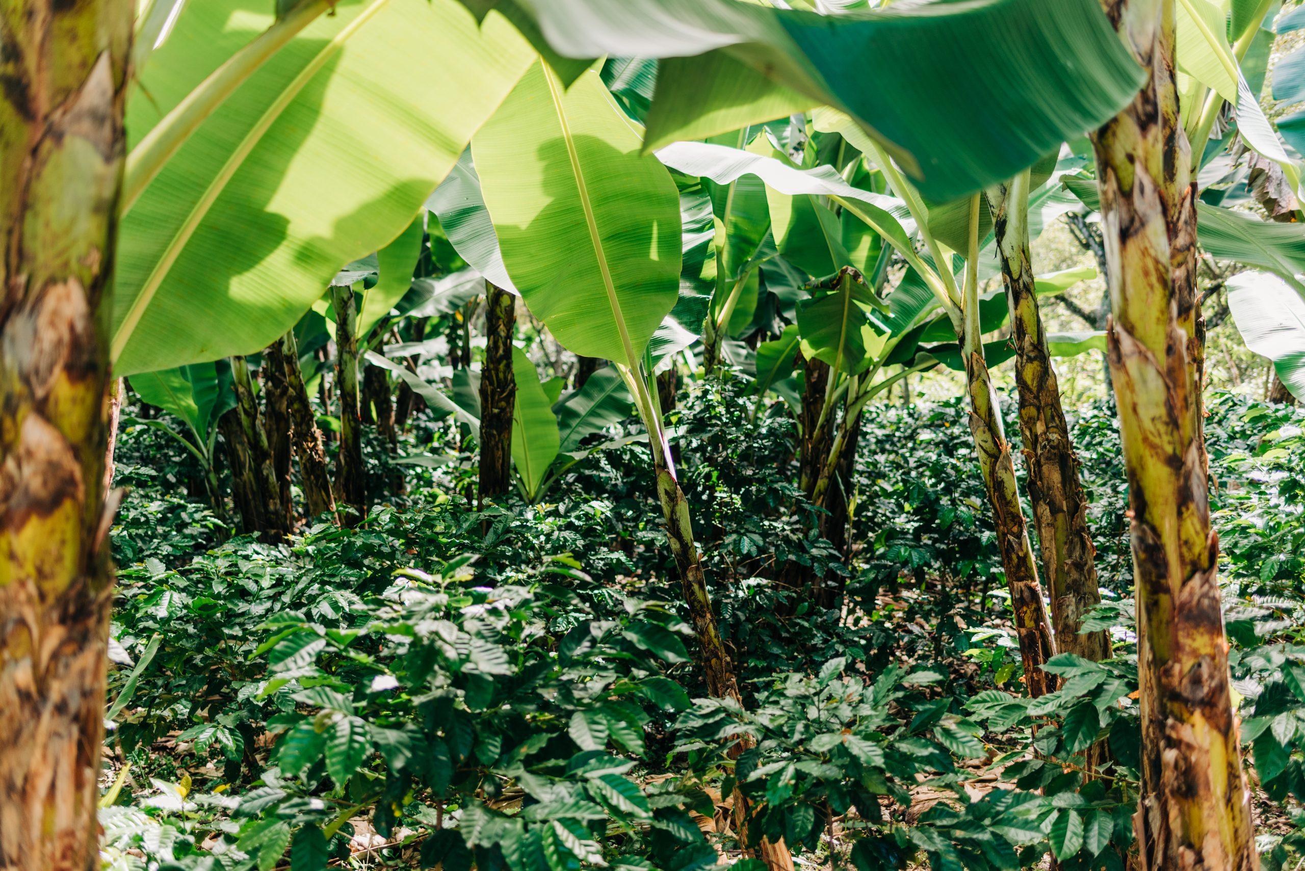 Coffee trees grow under the shade of banana trees in Honduras.