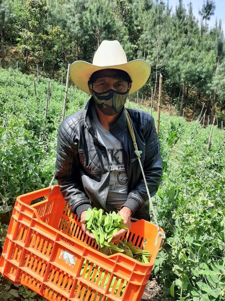 climate change is creating new challenges for farmers like Manuel Guarcas Batz, seen here picking peas from his farm in central Guatemala