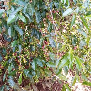A coffee tree growing quickly on Amanuel's farm. He is dedicated to cultivating thriving crops and elevating his community.