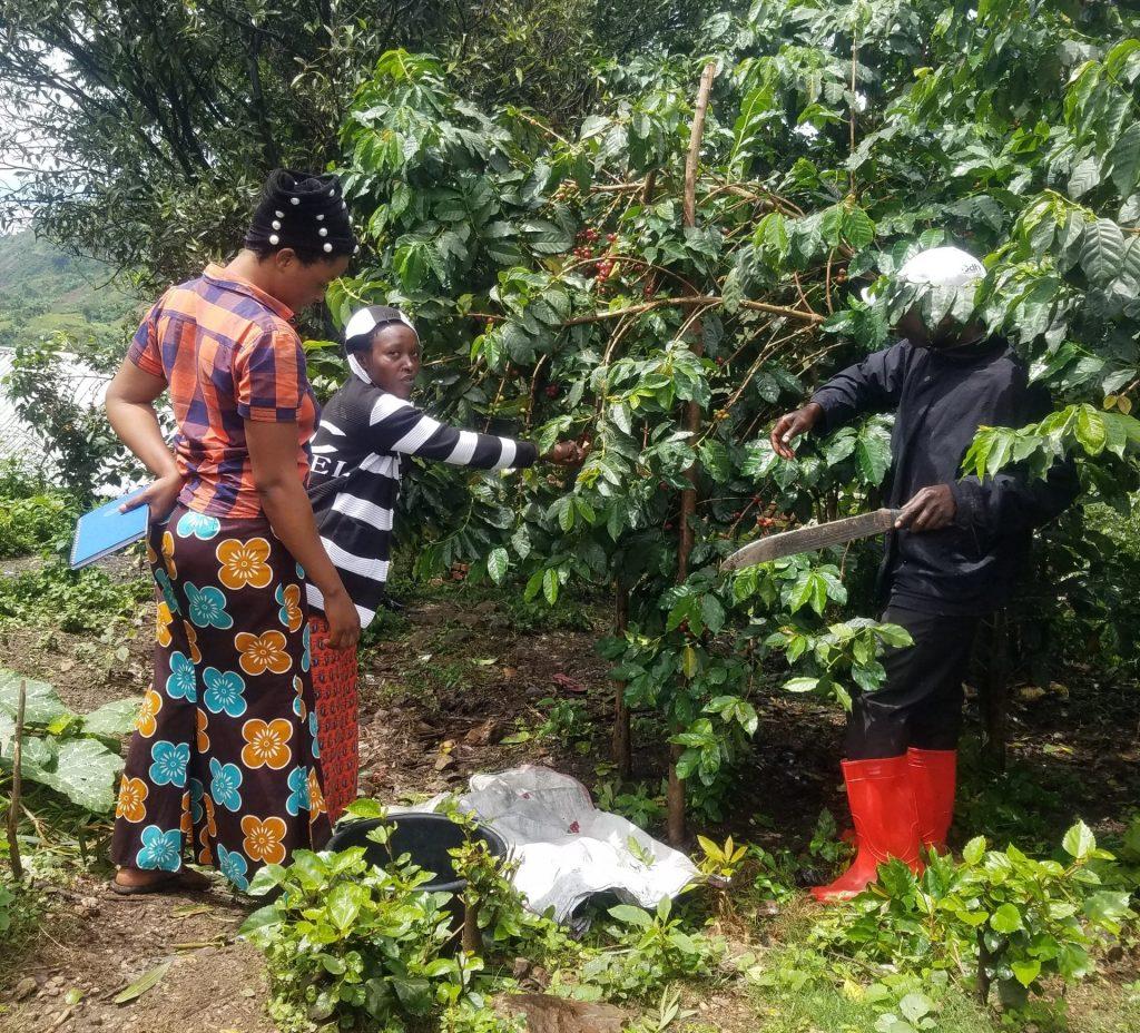 smallholder coffee farmers in the democratic republic of the Congo DCR