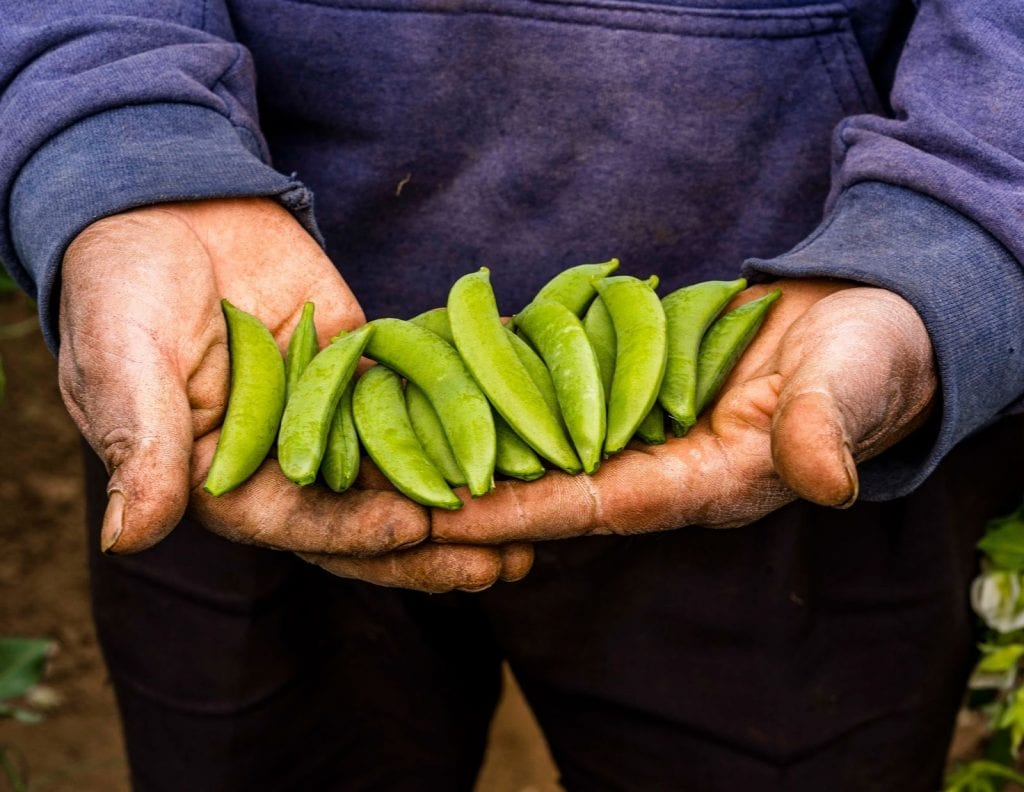 A farmer holds peas from a farm in Guatemala