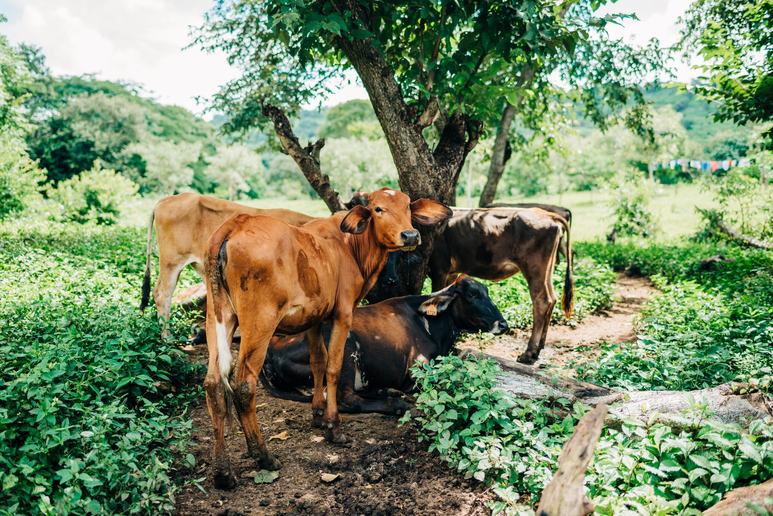 Cows stand under the shade of trees. Planting trees helps reduce the environmental impact of cattle ranching