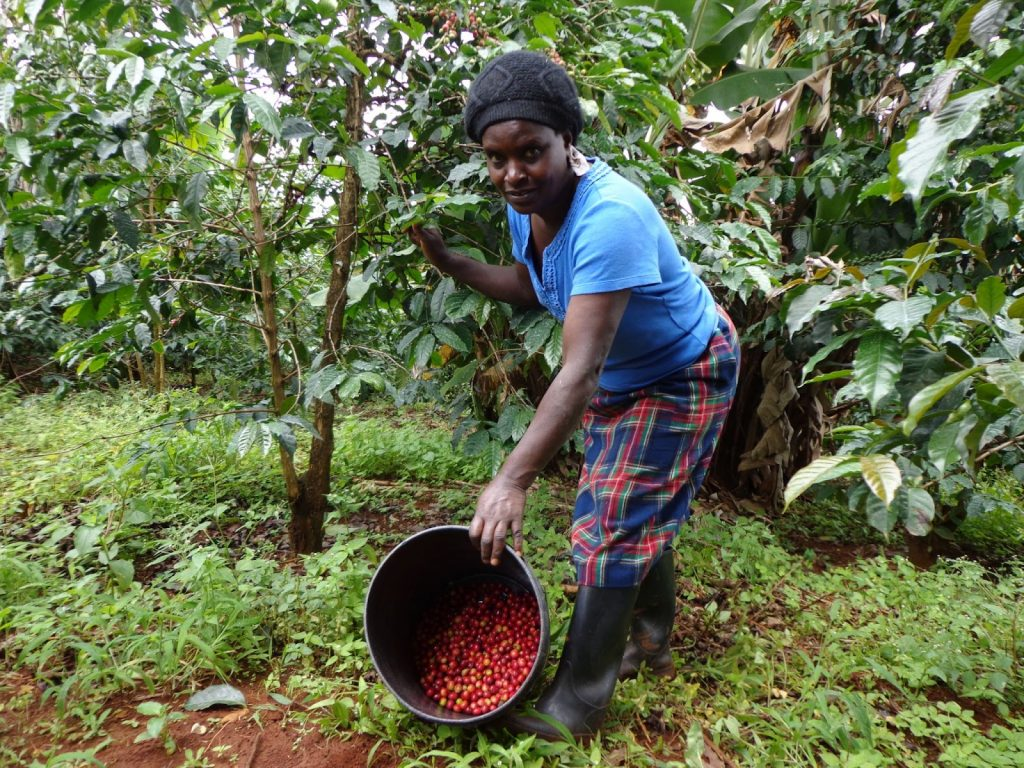 Crop to cup East African coffee farmer shows her coffee cherries