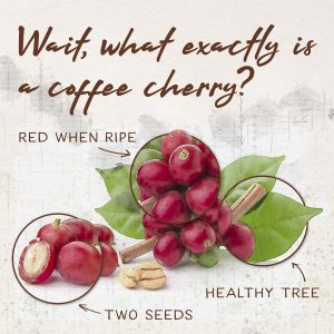 in the journey from crop to cup, coffee cherries are the first step