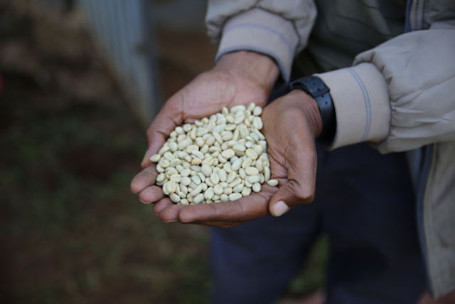 Two hands holding coffee beans in Ethiopia
