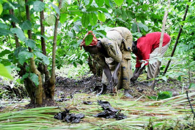 Coffee farmers in South Sudan