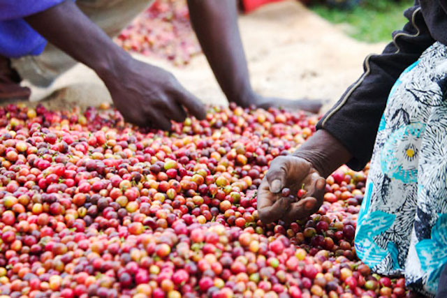 Coffee cherries are inspected by hand