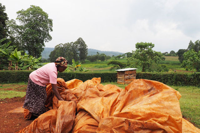 A woman covers her maize crop in Kenya