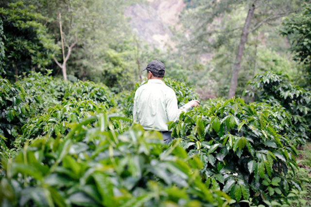 Landscape of Guatemalan coffee