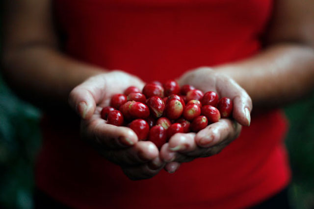 A woman holds a handful of coffee cherries