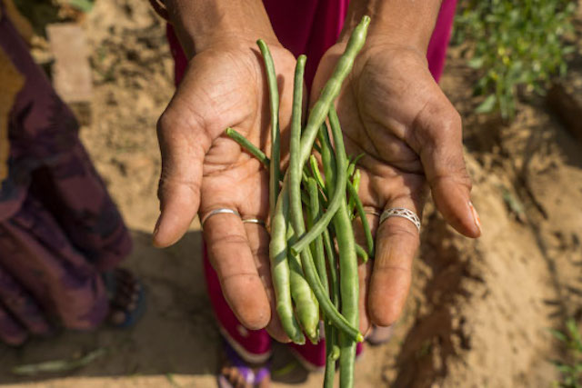 Woman holds beans from a kitchen garden in India