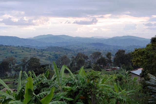 A Rwandan coffee landscape