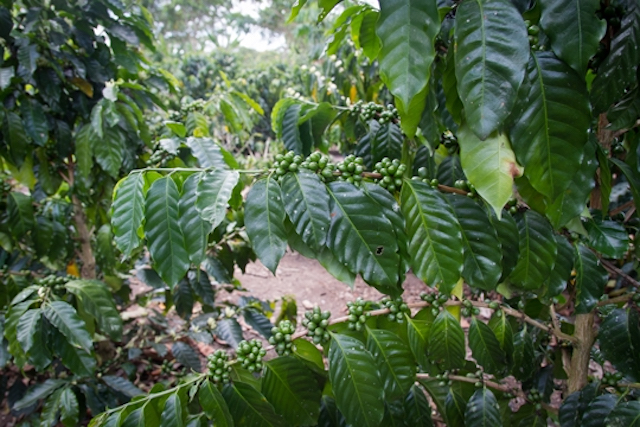 Coffee trees in San Martin, Peru
