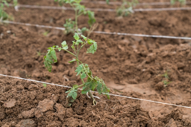 A tomato plant grows in Nigeria