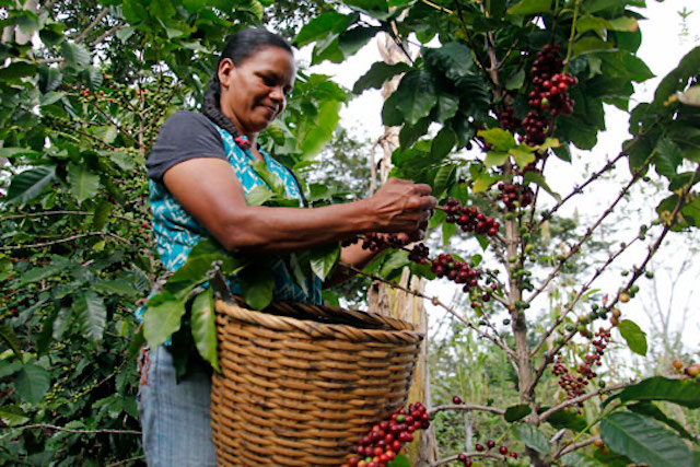 Woman coffee farmer picks coffee cherries