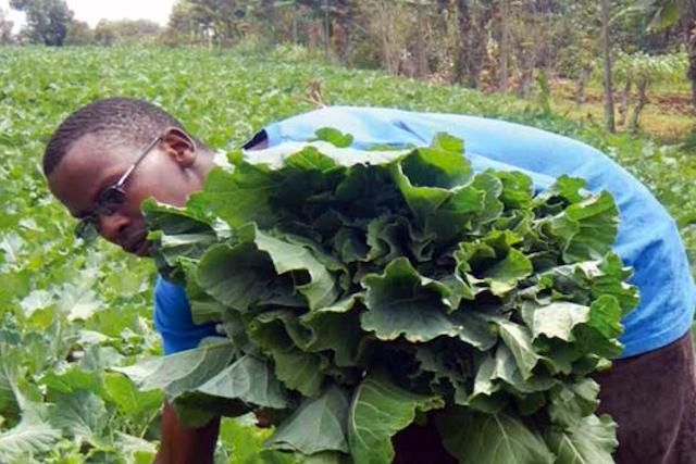 Jackson Rugara harvesting kale