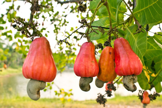 Catalyzing A Competitive Cashew Industry Technoserve