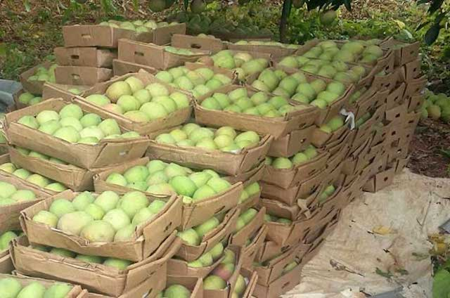 Batch of mangos ready for packaging