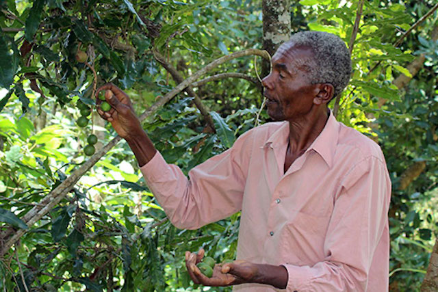 macadamia tree in Kenya