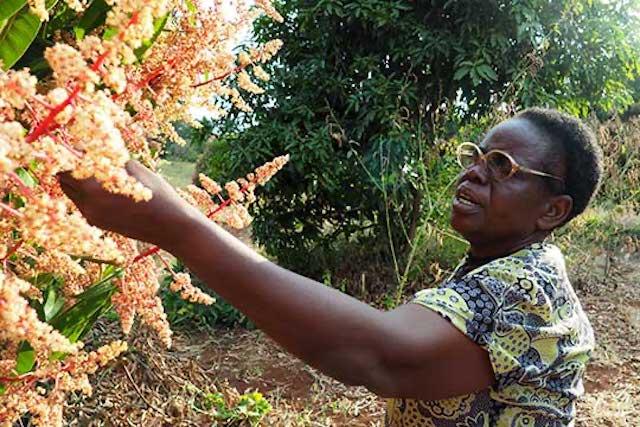 Magdalene Gachungiri examines her mango trees