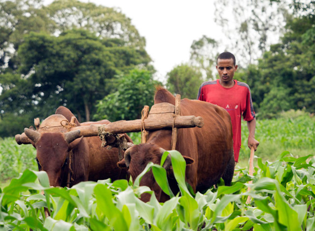 Ethiopian farmer working with livestock