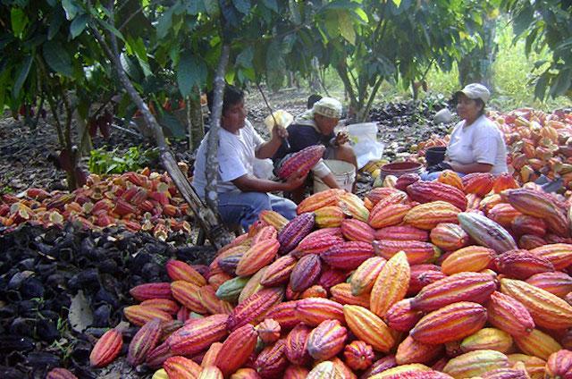 Revolutionizing Cocoa Farming in Peru