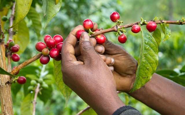 sustainable development in the coffee industry Coffee industry statistics show that only 20 percent of harvested coffee beans are considered to be a premium bean of the highest quality coffee market statistics show that coffee is grown commercially in more than forty-five countries around the world.