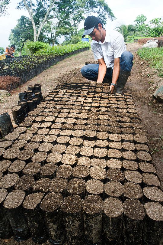 Employee arranges cocoa seedlings in Honduras